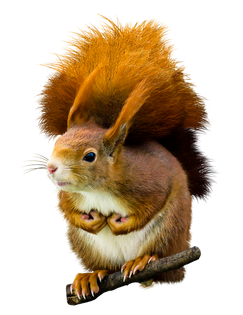 PNG images: squirrel