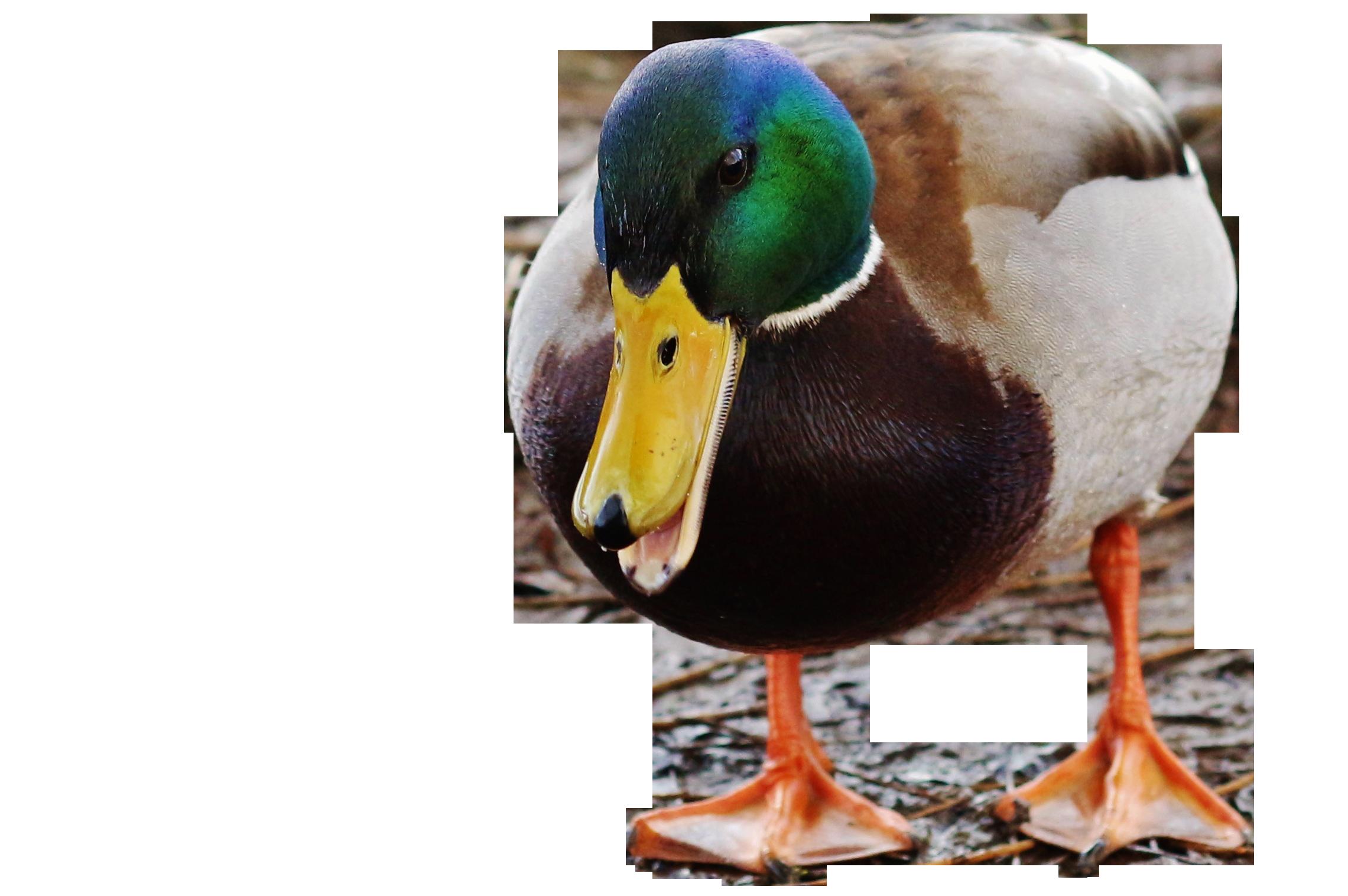 duck-899078_Clip