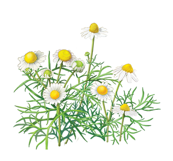 Chamomile, free pngs