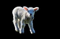 lamb-881034_Clip