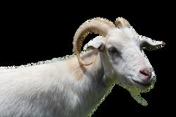 goat-1155363_Clip
