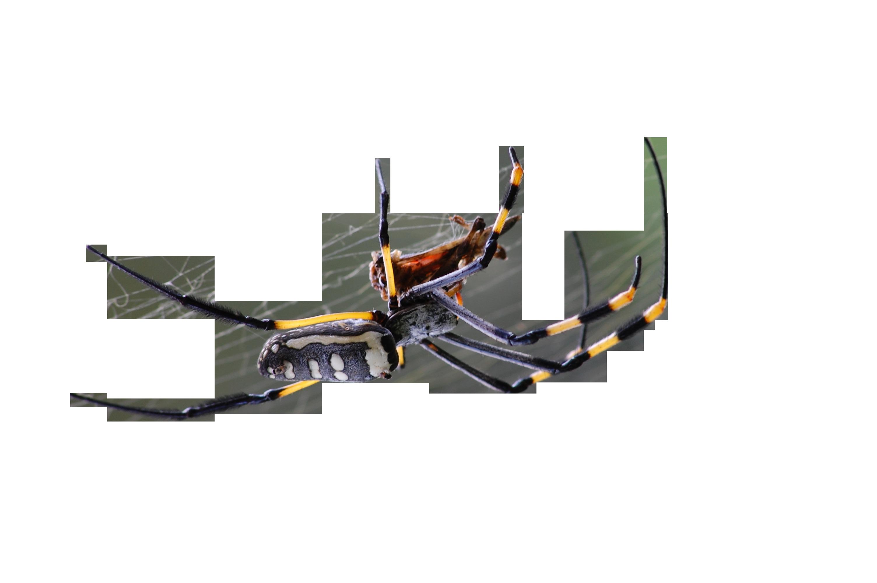 golden-orb-spider-281142_Clip
