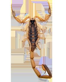 Scorpion free PNGs