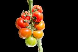 tomato-1310961_Clip