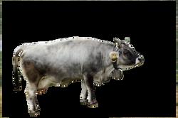 cow-366742_Clip