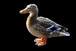 duck-1010377_Clip