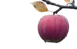 apple-1122537_Clip