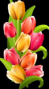 Tulip, free pngs