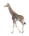 PNG images: Giraffe