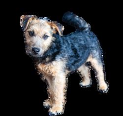 lakeland-terrier-908688_Clip