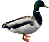 Free png duck images.