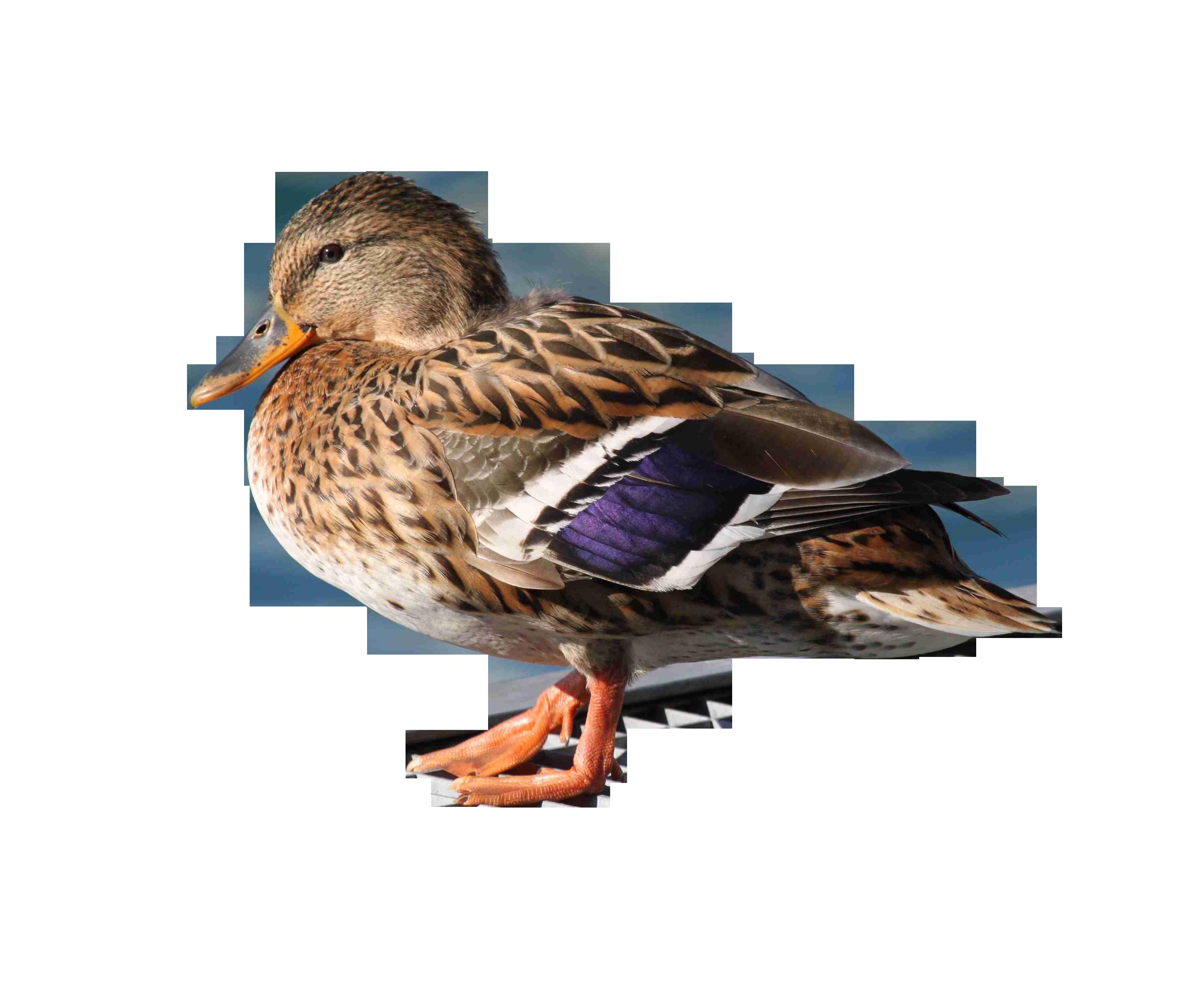 duck-115511_Clip