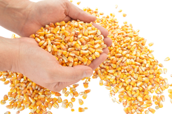corn-1173816_Clip