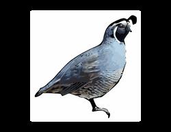 Calif_quail