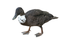 duck-169381_Clip
