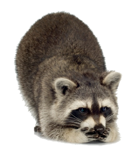 Free raccoon png images.