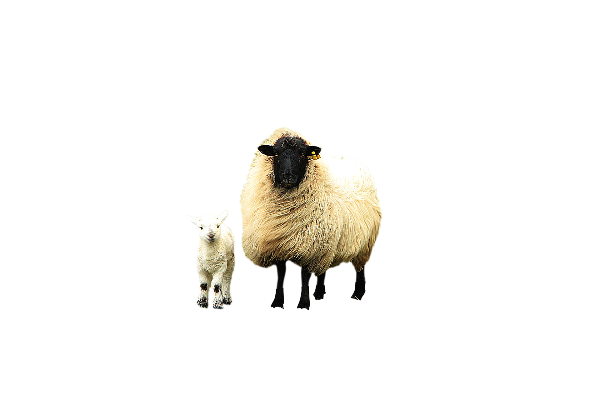 sheep-751481_Clip