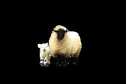 sheep-751481_Clip