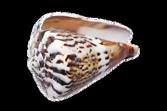 seashell-1326731__340.png