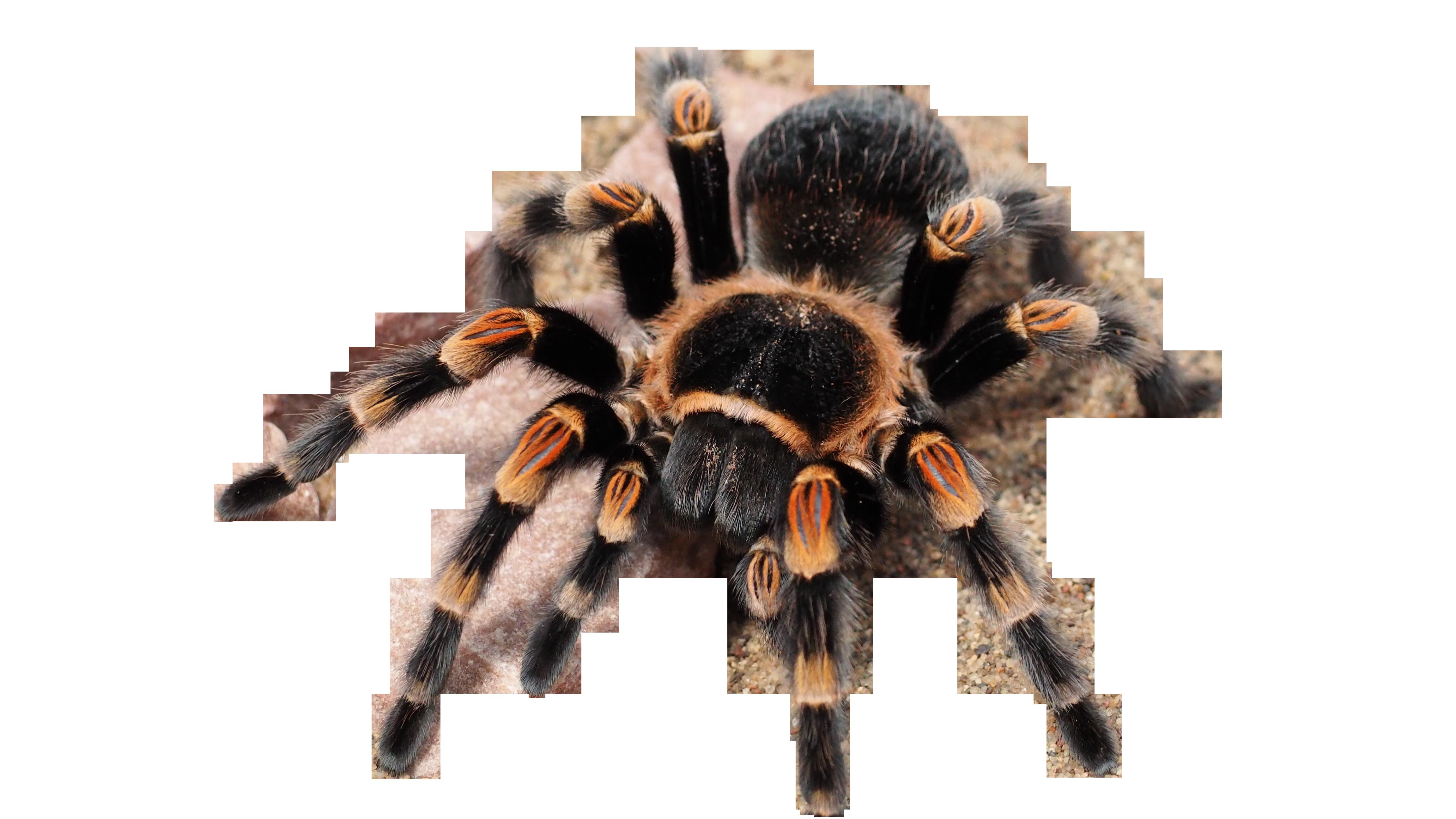 tarantula-1416354_Clip