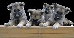 puppies-624392_Clip
