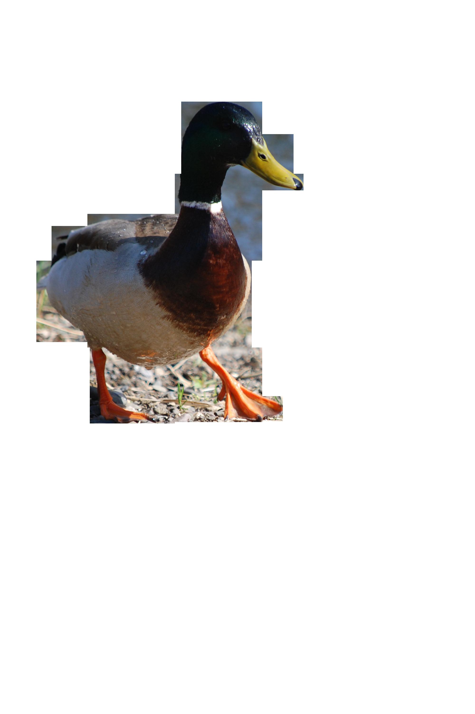duck-200840_Clip