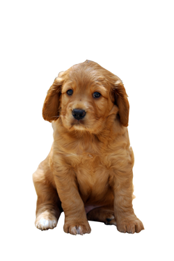 puppy-758126_Clip