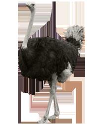 Ostrich transparent images