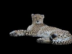 cheetah-358600_Clip