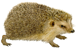 Hedgehog PNGs