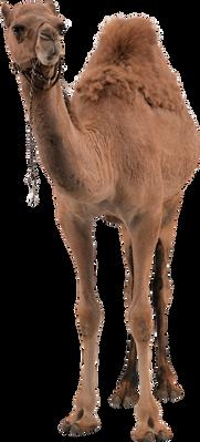 Camel PNG images