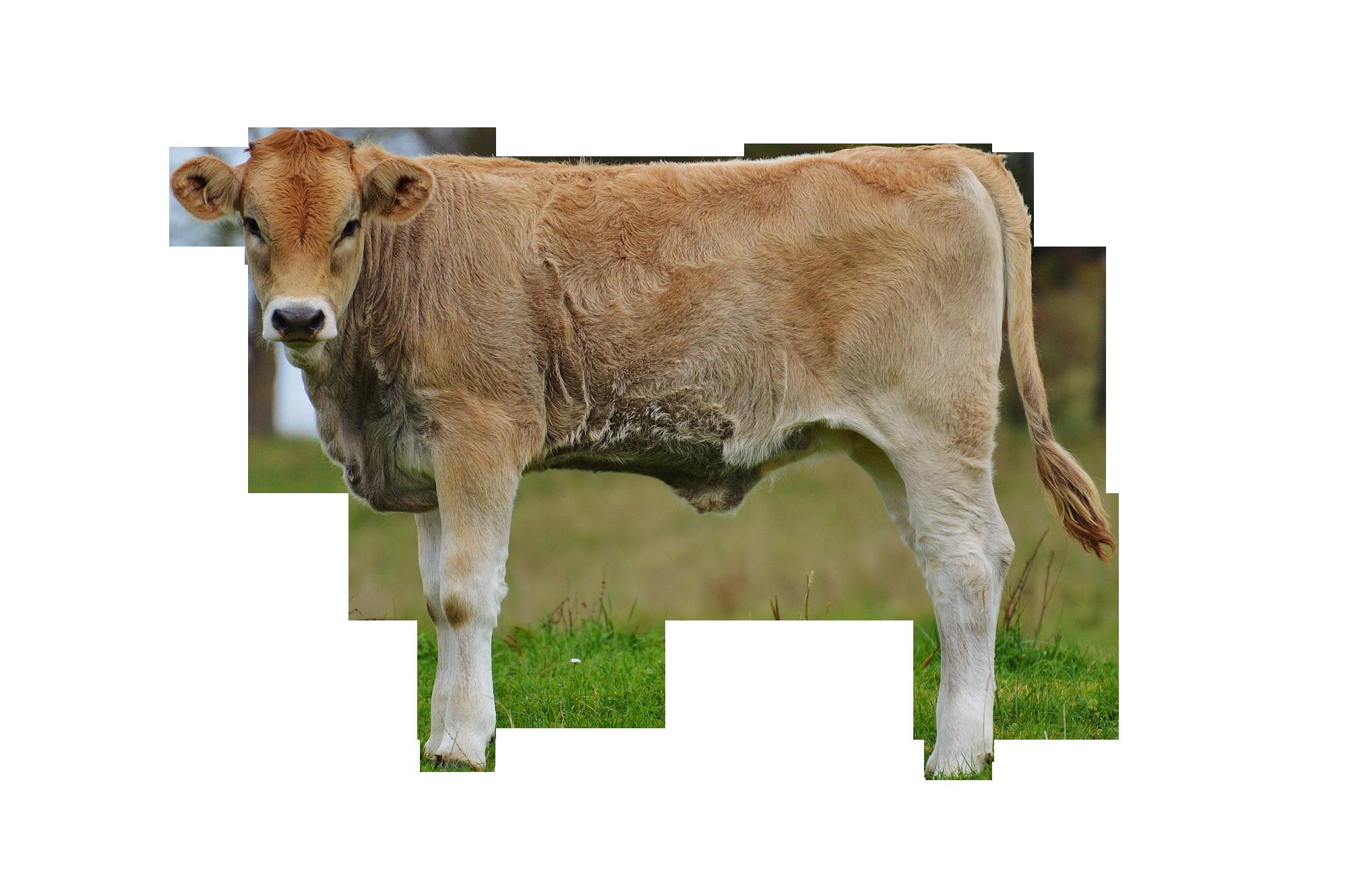 cows-982295_Clip