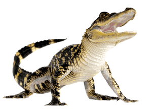 Free crocodile png images.