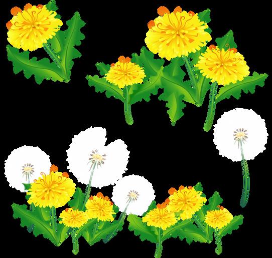 Dandelion, free pngs