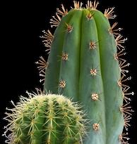 Cactus, free PNGs