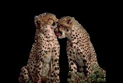 cheetahs-596744_Clip