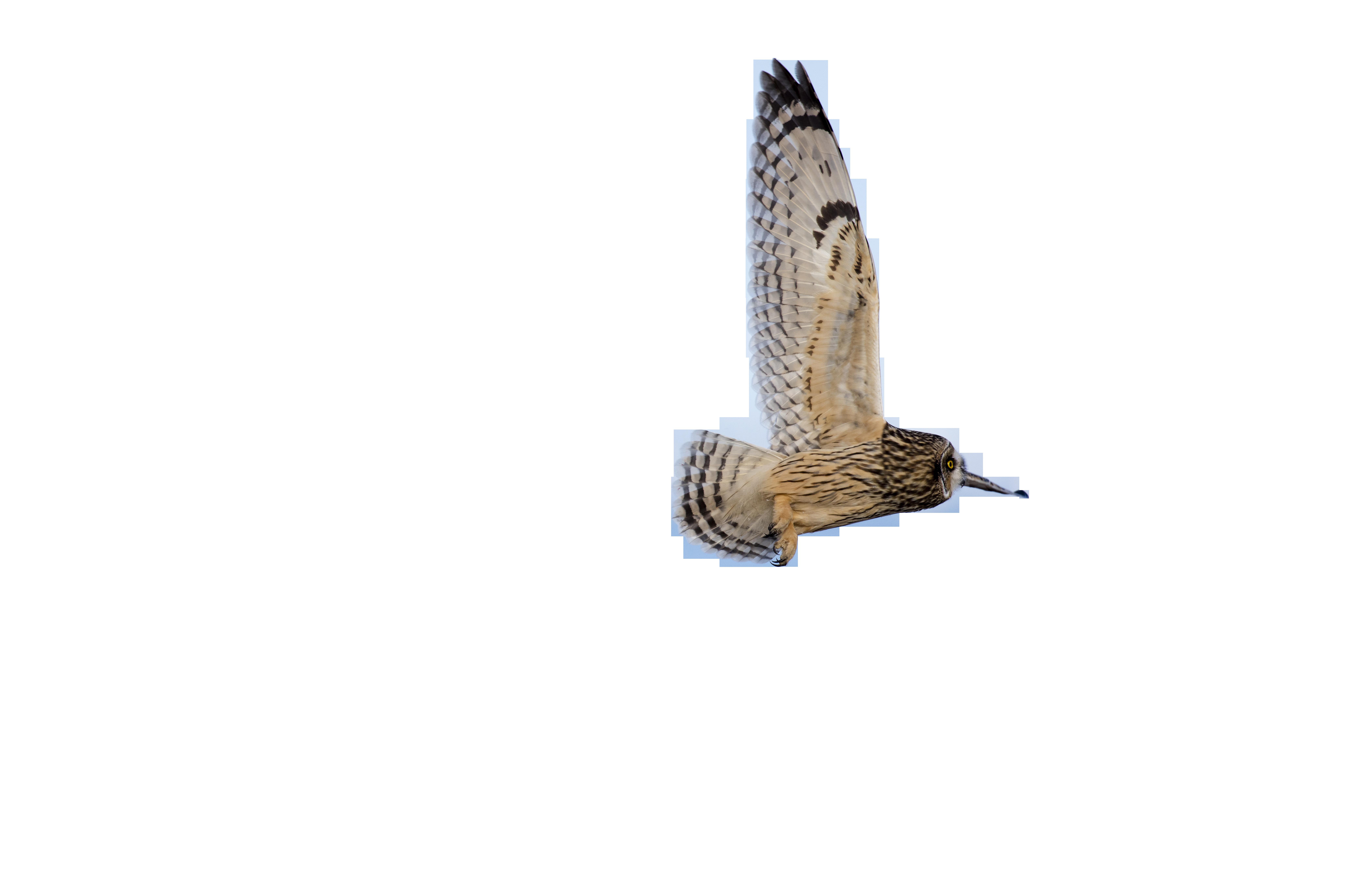 short-eared-owl-1225961_Clip