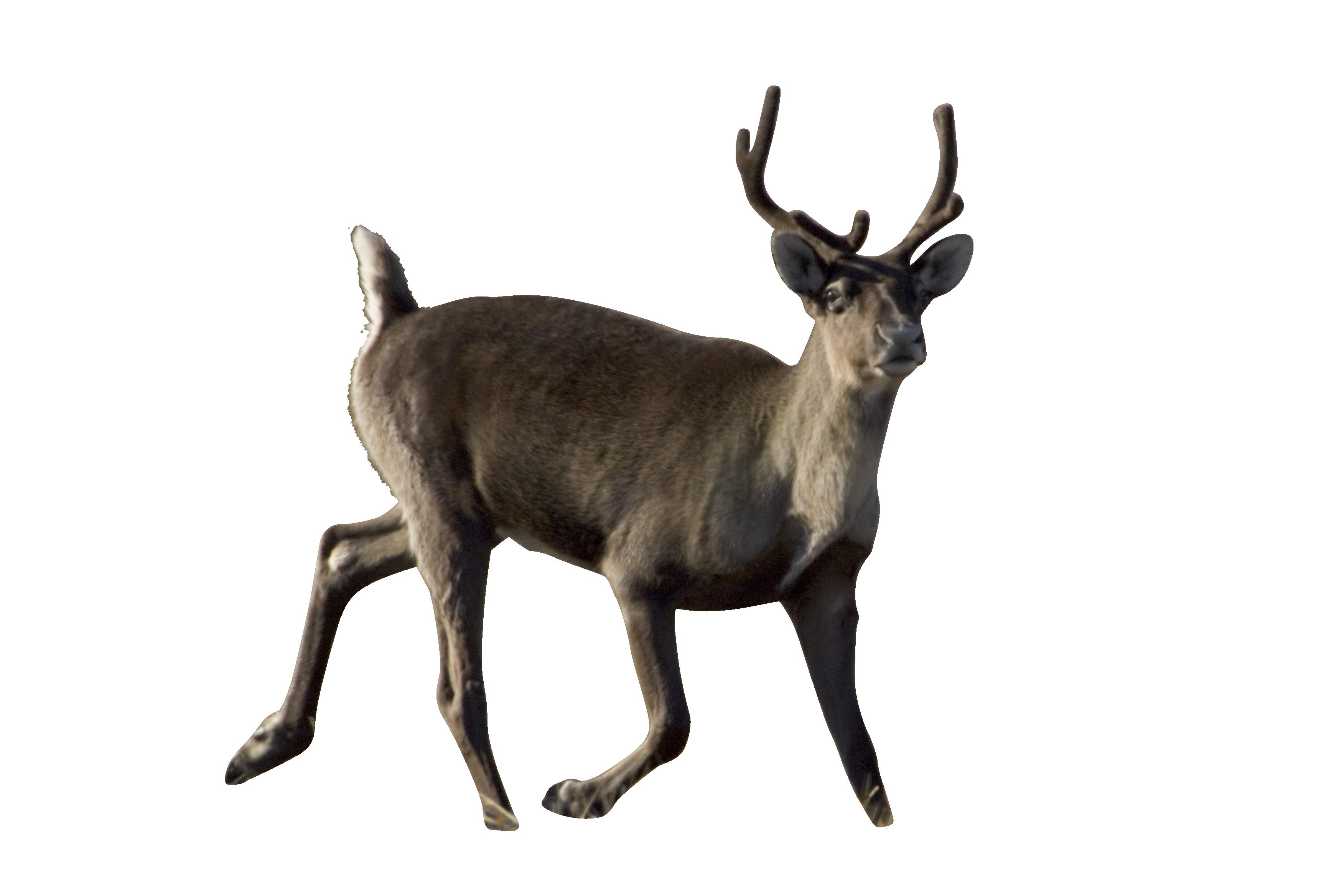 caribou-861969_Clip