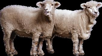 Free sheep png images.
