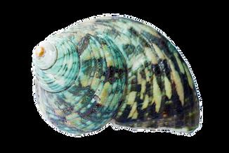 seashell-1326651__340.png