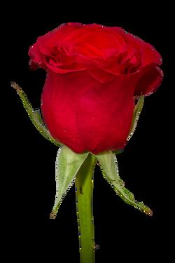 rose-266785_Clip