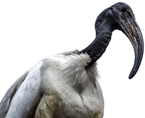 PNG images: birds