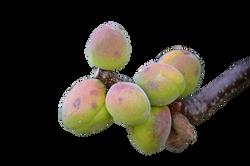 apricots-369224_Clip