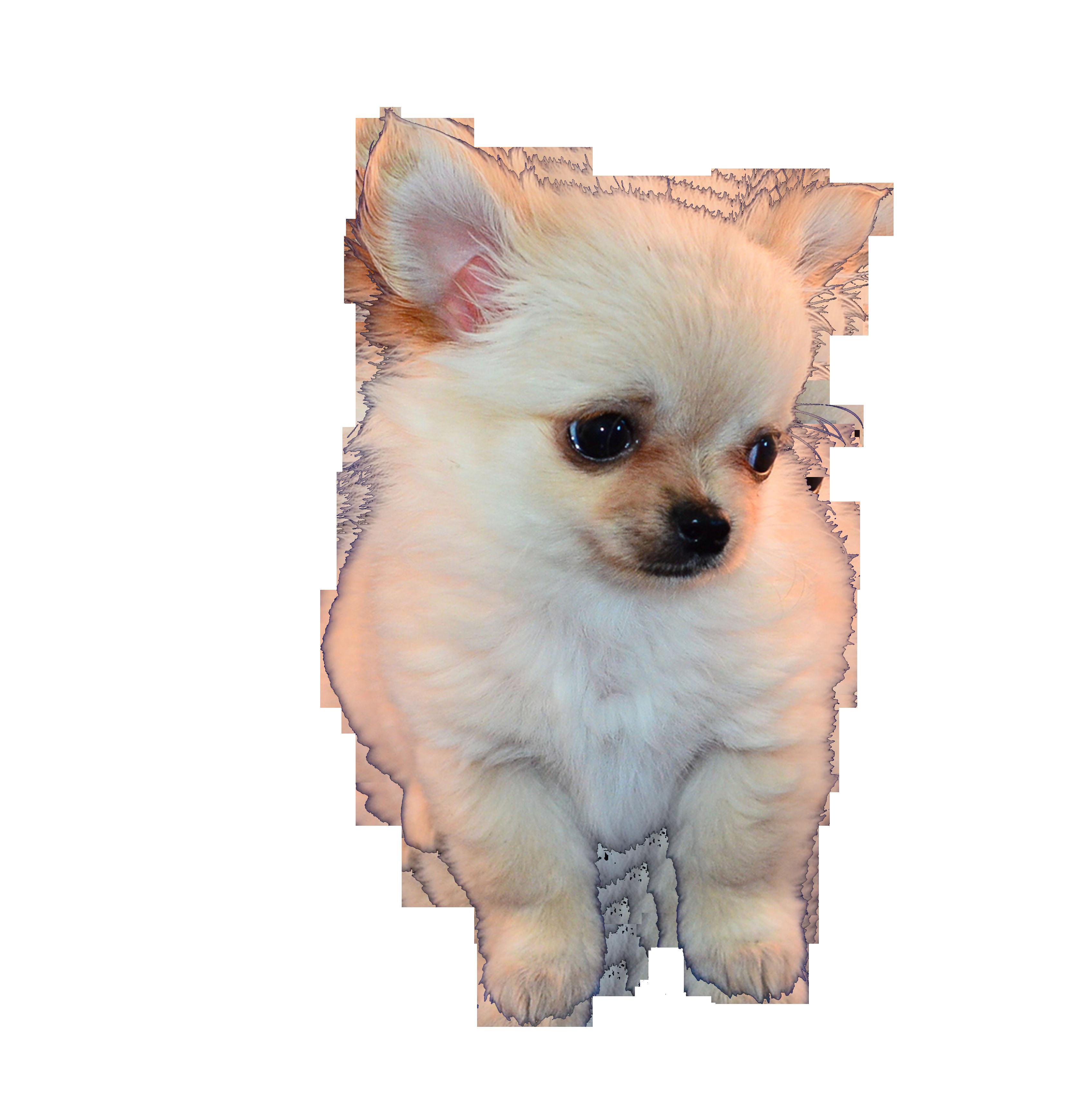 chihuahua-299425_Clip