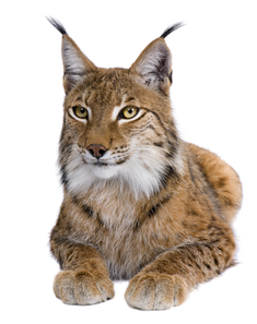Complete animal free PNG collection, Free PNGs has tens of thousands of free transparent cutout PNG  images to download today.   - Top transparent PNG images. - Biggest PNG collection on the net.  - Unlimited downloads. - Check out our lynx collection today.