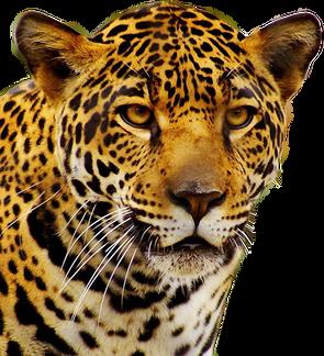 Jaguar PNGs