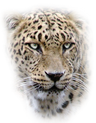 PNG images: Leopard