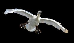 trumpeter-swan-935164_Clip