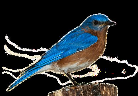 PNG images: robbin, bird