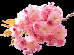 cherry-blossom-1260641_Clip